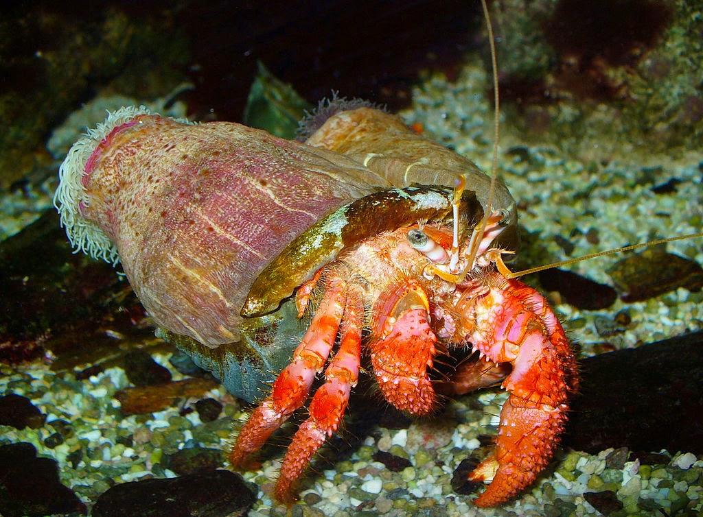 Hermit In Crab-Hermit Crab