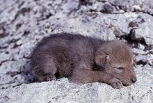 baby coyote pup