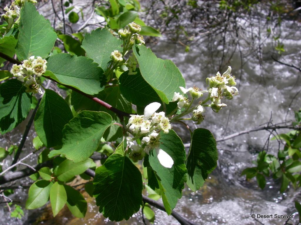 A Plant A Day Saskatoon Serviceberry Amelanchier Alnifolia