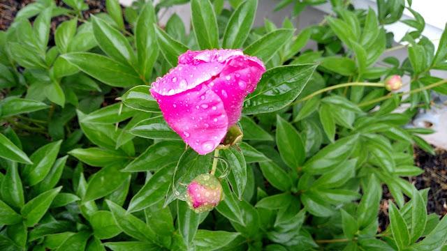 pink peony in rain
