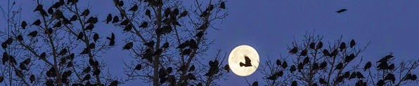 Shamil Zhumatov: Birds perch in treetops at full moon in Kostanay, Kazakhstan.