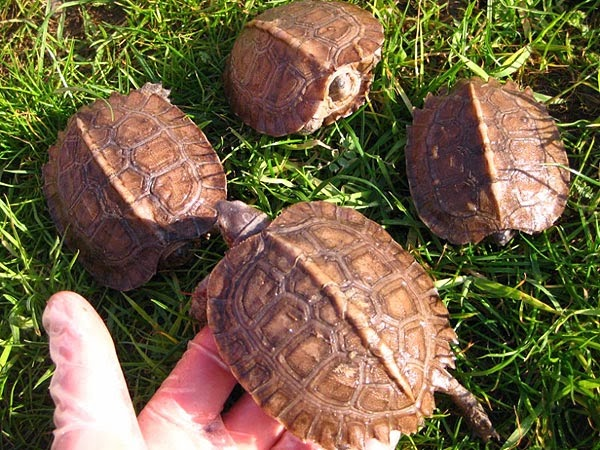 Crías de Heosemys grandis