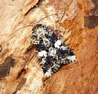 Latest New Macro Moth Species - Marbled Coronet