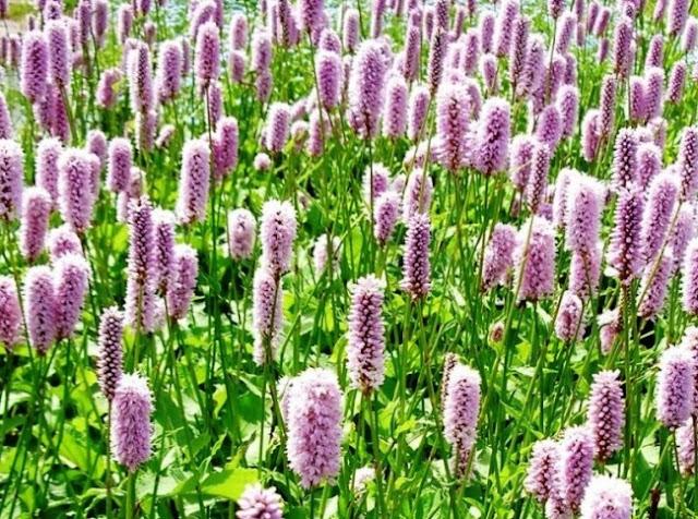Лекарственное растение с розовыми цветами фото