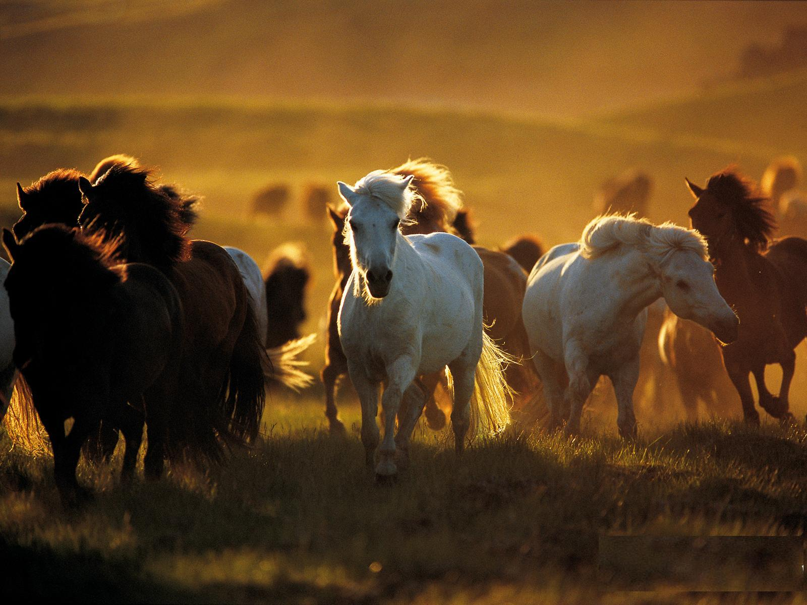Great   Wallpaper Horse Rose - wild+horses+wallpapers+18  Trends_701330.JPG