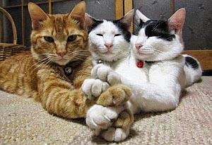 Imagenes Graciosas de Animales, Gatos Mosqueteros