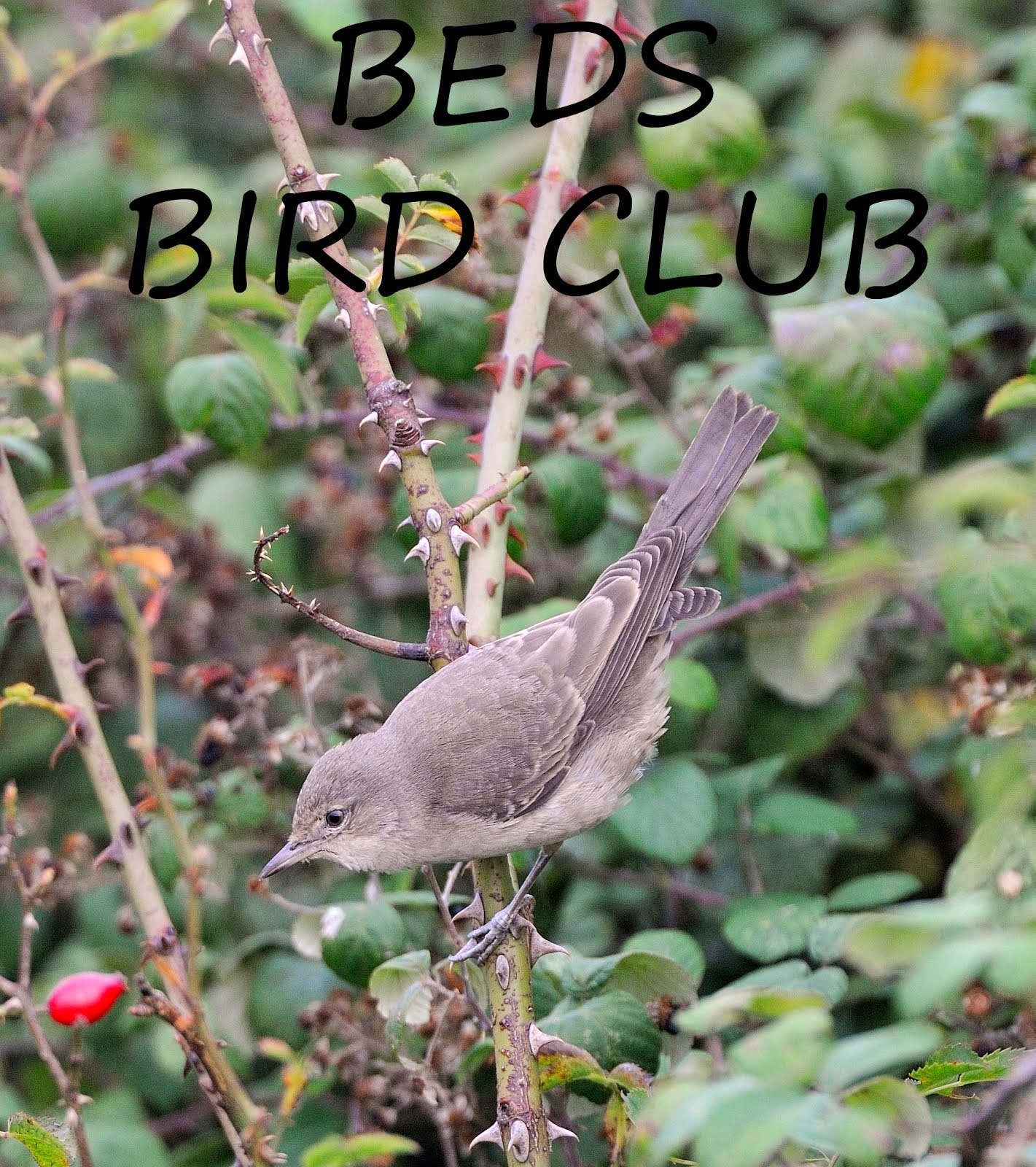 Beds Bird Club