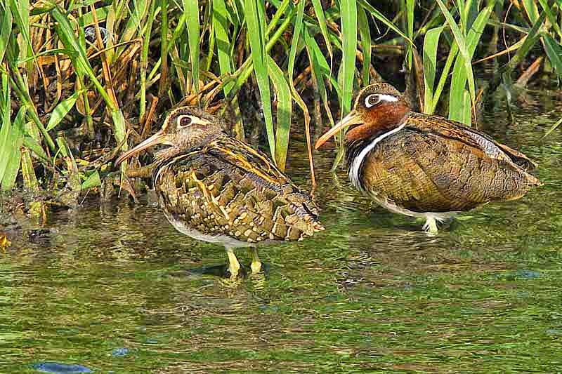 male, female, Greater Painted-snipe,birds
