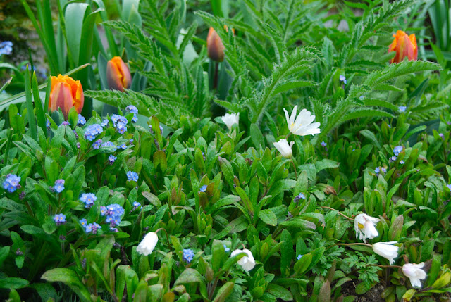 Tulip 'Princess Irene' with white Anemone blanda and blue forget-me-nots (Myosotis).