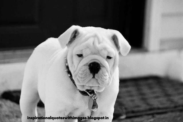 white color bull dog pics