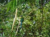 National Bird in Nicaragua