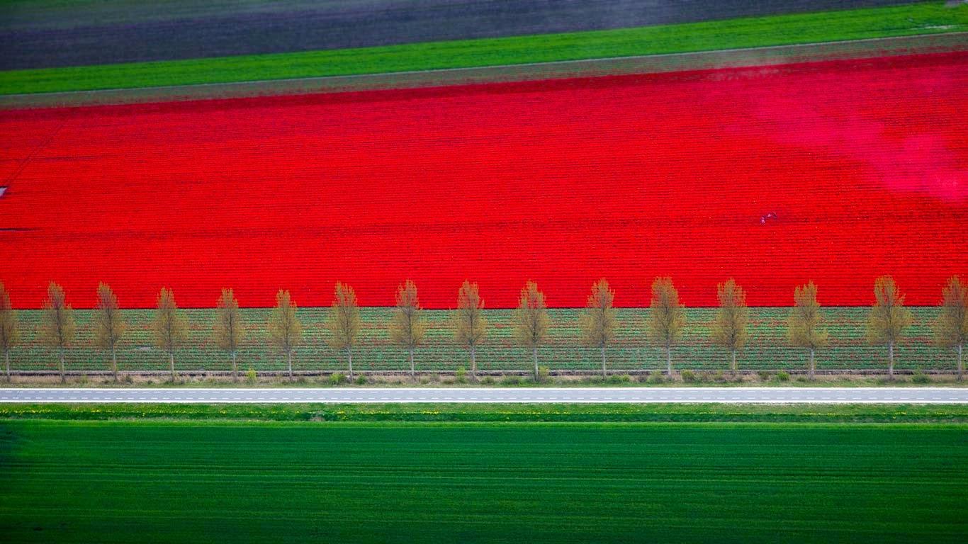 Tulip fields in Noordoostpolder, Netherlands (© Siebe Swart/plainpicture) 575