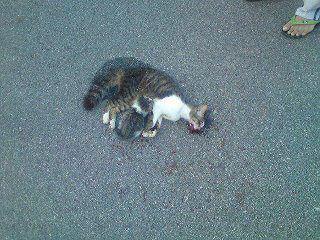 Ibu Kucing Mati Dilanggar