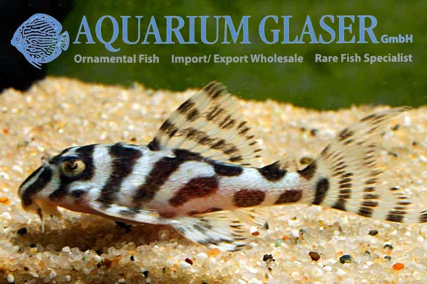 Aquarium Glaser | Анонсы
