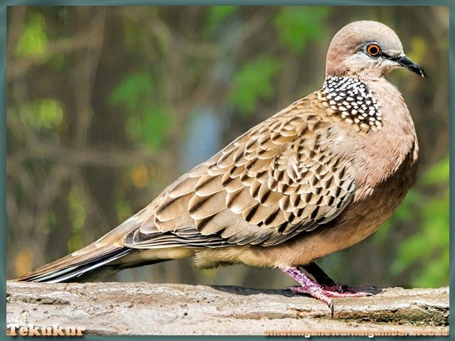 gambar burung tekukur