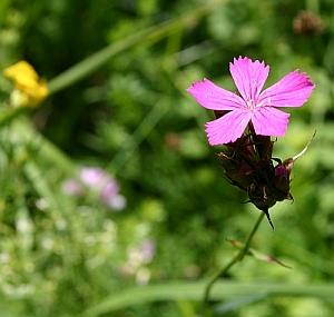 Dianthus carthusianorum Karthäusernelke