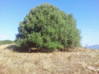 Il grande ulivo secolare nella campagna di Monte Pedru, Perfugas, Sassari, Sardegna