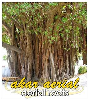 akar aerial roots