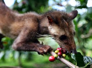 Luak sedang memilih biji kopi yang akan dimakan