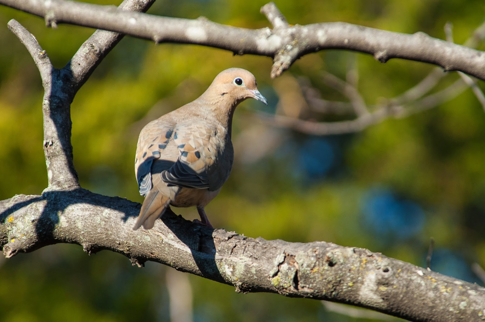 Mourning Dove, The Heard