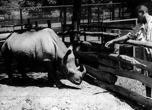 A bizarra história do rinoceronte que foi eleito vereador de São Paulo!