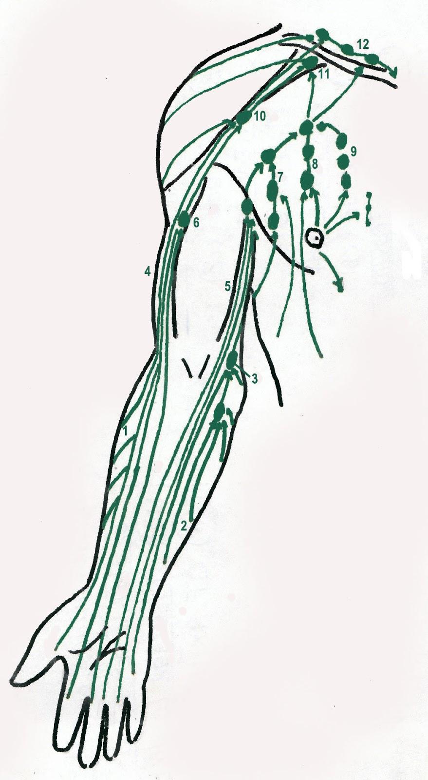 El Drenaje Linfático Manual: Anatomía Linfática del Miembro Superior