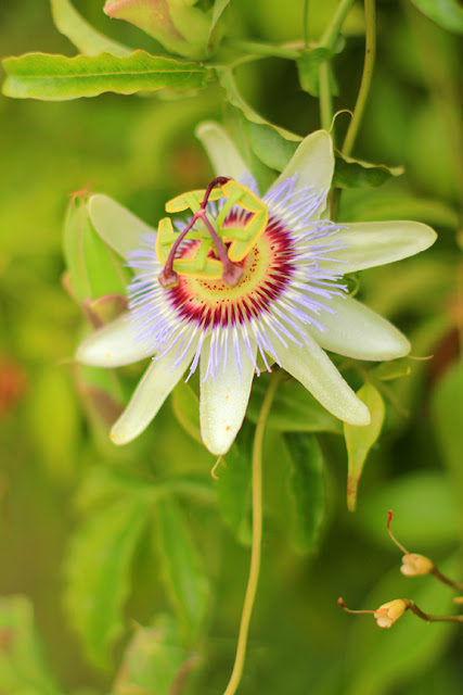 Passion Flower Photo
