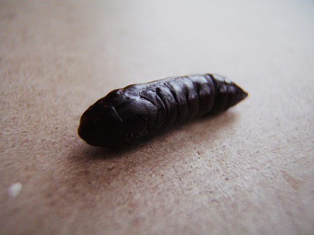 a photo of a chrysalis, pupa