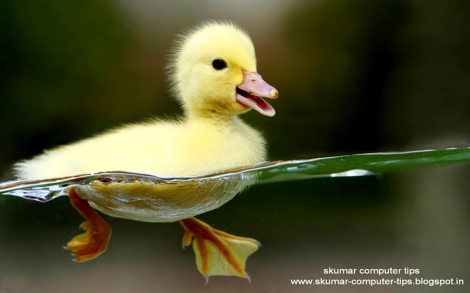 http://1.bp.blogspot.com/-z6i4ifKk75g/T9Swja2LN_I/AAAAAAAAEdY/50GEGtXpL5U/s1600/Duckling_hd_wallpaper.jpg