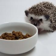 Budidaya Landak Mini Makanan Landak Mini