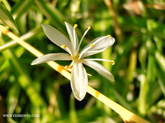 Cinta chlorophytum comosum plantas riomoros - Cinta planta ...