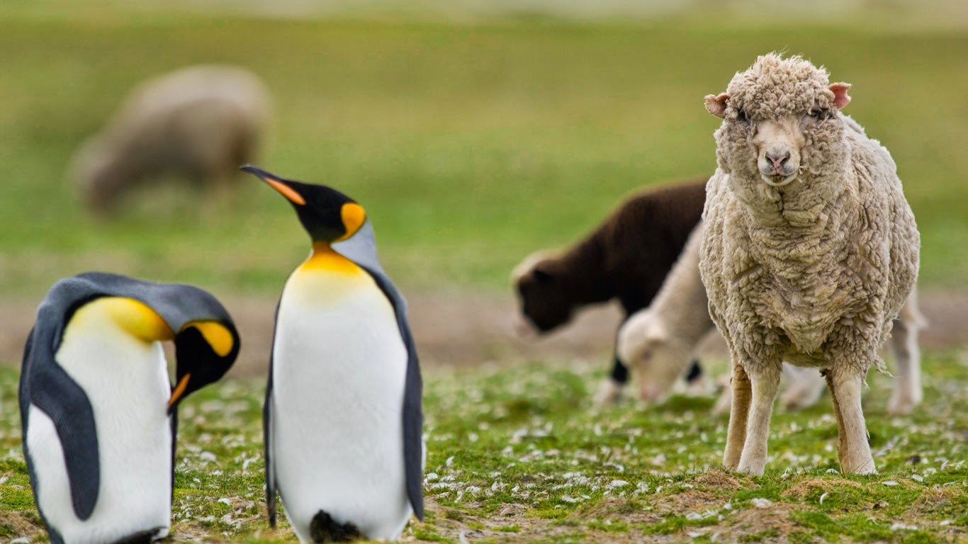 Sheep among a king penguin colony in the Falkland Islands (© Frans Lanting/Corbis) 304