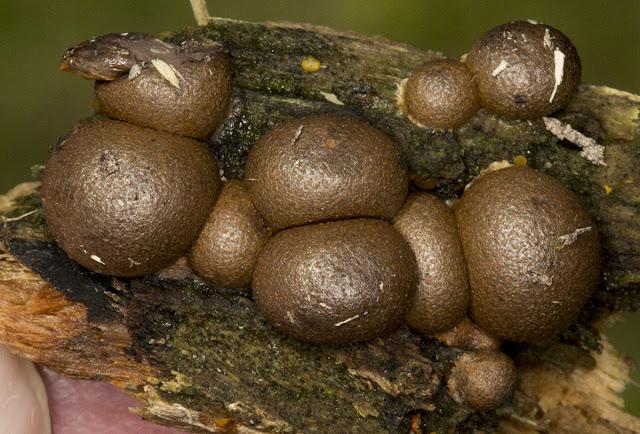 Lycogala epidendrum var. terrestre.