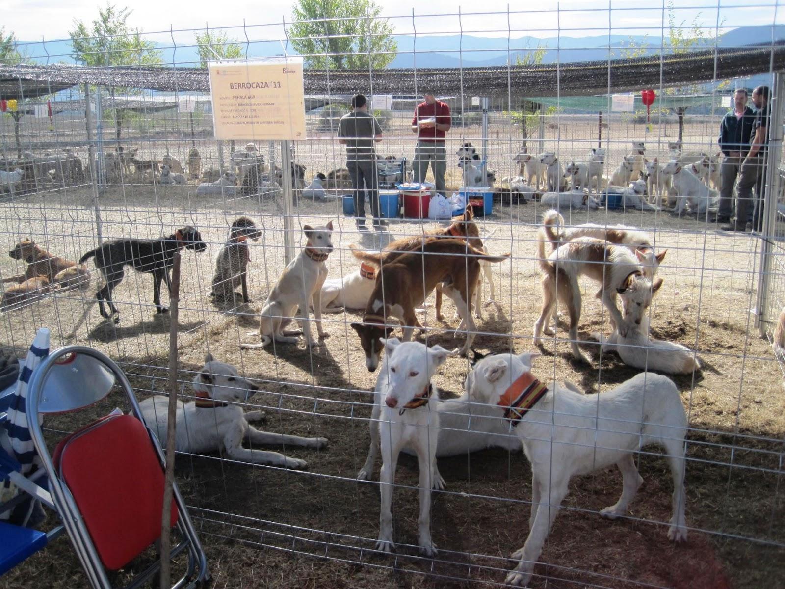 R e h a l a iii feria de perros de caza berrocaza - Navalmoral de la sierra ...