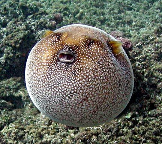Bird flower and fish puffer fish for Types of puffer fish