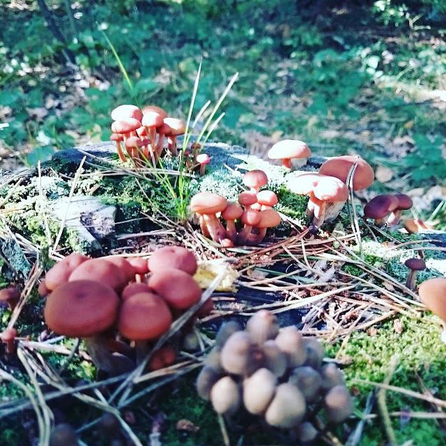 małę grzyby, jak fotografować grzyby,las i jego dary, skupiska grzybó, grzyby jadalne, las kiedy na grzyby,grzybobranie, niejadalne grzyby,muchomor,blogerka, blog Szczecin