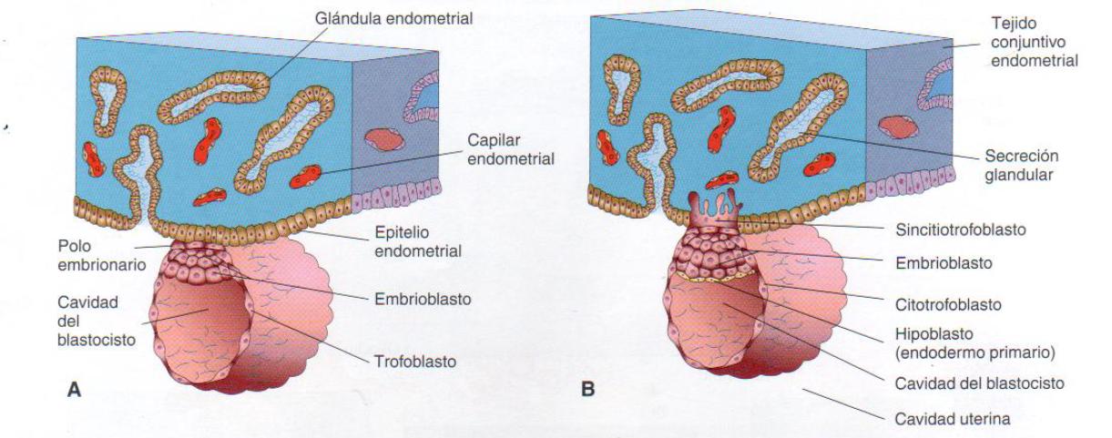 Embriomed: segmentacion y formacion del blastocisto