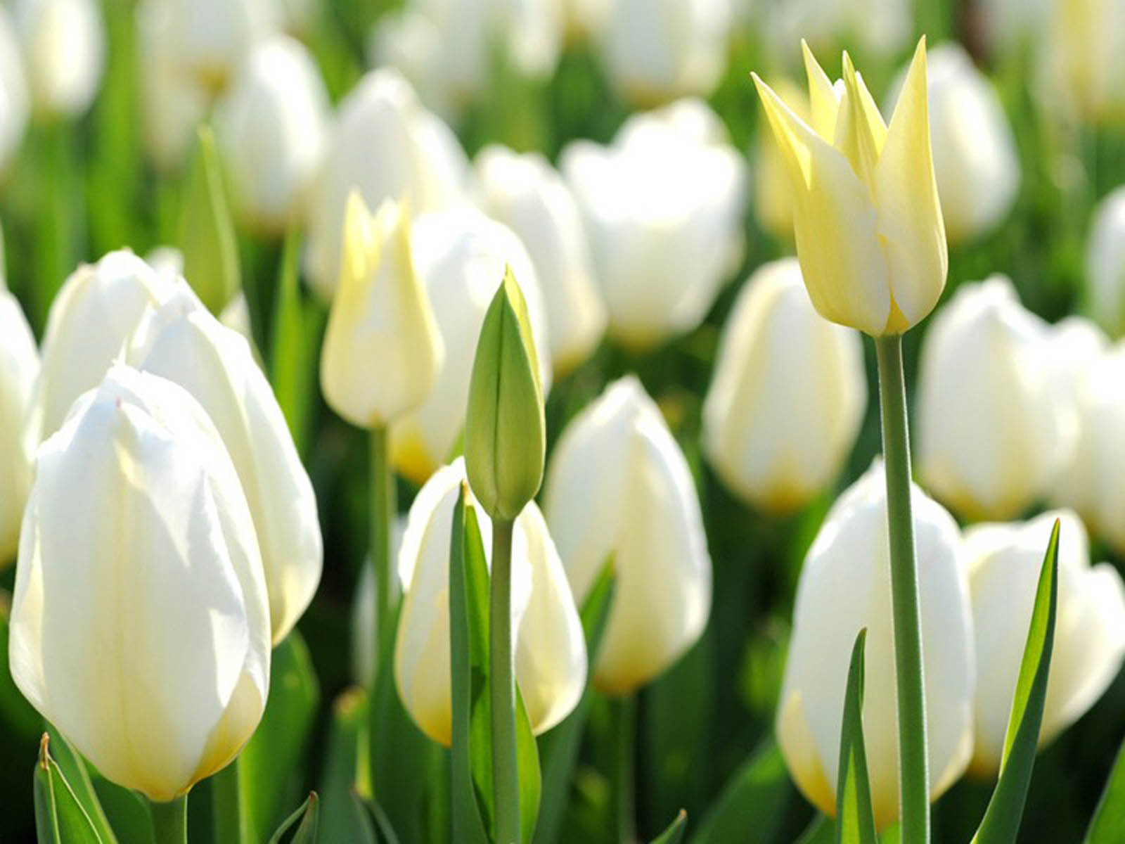 White Tulip Flowers ~ HD Wallpapers White Tulip Flower