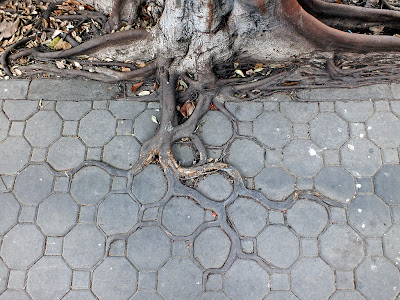 roots of large tree growing in spaces between decorative concrete path pattern