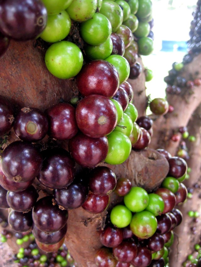 Jabuticaba - The Tree that Fruits on its Trunk