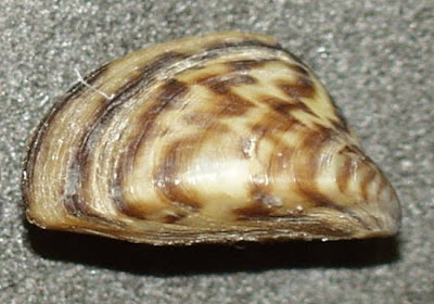 zebra mussel thumb%255B3%255D 10 of Worlds Strongest Animals Compared to its Body Weight