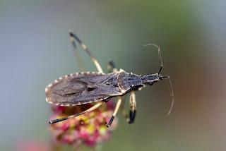 Para ampliar Oncocephalus acutangulus hacer clic