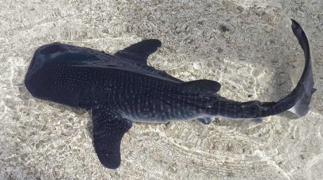 A baby whale shark of 18 inch is found in the Maldives