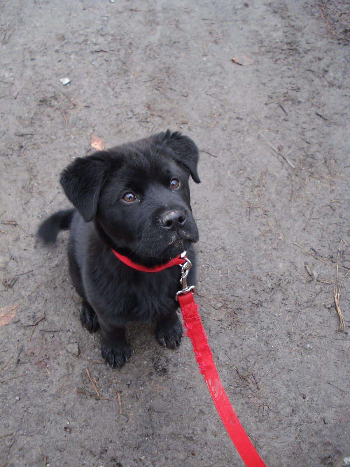 Black Lab Bullmastiff Mix Puppy Images & Pictures - Becuo