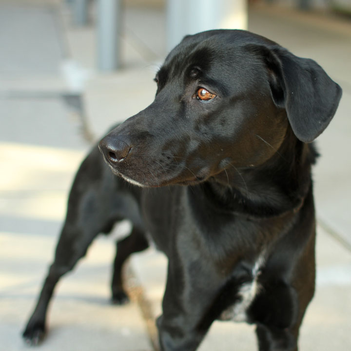 Cute Dogs: Cute Black Labrador retriever