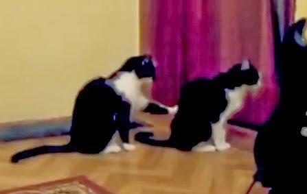 gato toca la espalda de otro gato