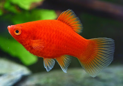 Beragam Ikan Kecil Yang Cantik Dari Jenis Ikan Platy