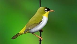 Burung Pleci- Habitat Burung Pleci-Burung Pleci atau Burung Kaca Mata-Burung Pleci Sangihe atau Sangihe White-eye-Habitata Burung Pleci-Burung Pleci- Habitat Burung Pleci-Burung Pleci atau Burung Kaca Mata-Burung Pleci sekarang ini memang sedang jadi primadona di kalangan kicau mania..mungkin anda adalah salah satunya. Karena harganya yang relatif bersahabat, bahkan kalau burung pleci bakalan bisa di dapat dengan harga dibawah 50.000, burung ini menjadi trend baik dari kalangan anak-anak sampai orang tua.    Habitata Burung Pleci sangihe adalah hutan primer pada daerah perbukitan dengan ketinggian antara 700-1000 meter dari permukaan laut. Persebaran burung pleci ini tersebar dan merupakan burung endemik yang hanya bisa di jumpai di pulau Sangihe, Sulawesi Utara. Bahkan di pulau Sanggihe ini, burung Pleci sangihe atau yang bernama latin (Zosterops Nehrkorni) hanya dapat dijumpai dikawasan Gunung Sahendaruman dan Sahengbalira dengan luas habitat hanya sekitar 8km.