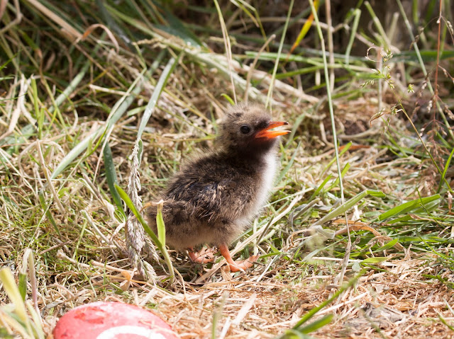 Tern Chick - Farne Islands, Northumberland