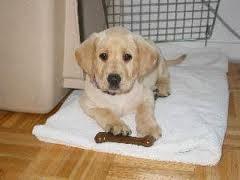 Anjing Labradir Retriever, cara merawat anjing Anjing Labradir Retriever, anjing,Labradir Retriever
